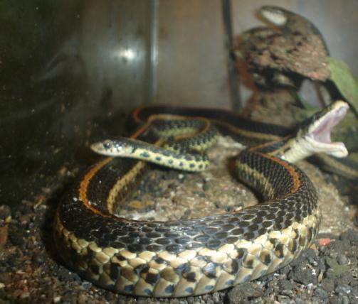 Sues_vivarium_Snakes_015