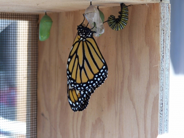 Female monarch hatching