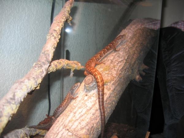 Alligator_lizards