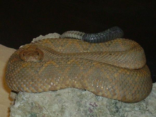 Aruba_Island_Rattlesnake_Crotalus_Unicolor_