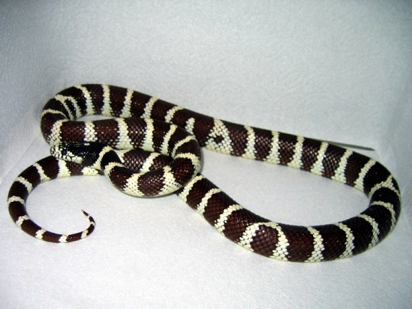 California_Kingsnake-_desert_phase