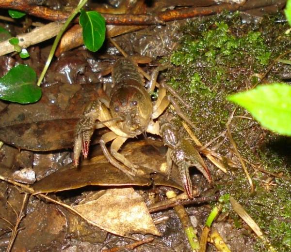 Crayfish_004_crop