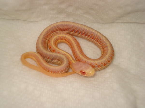 albino redside
