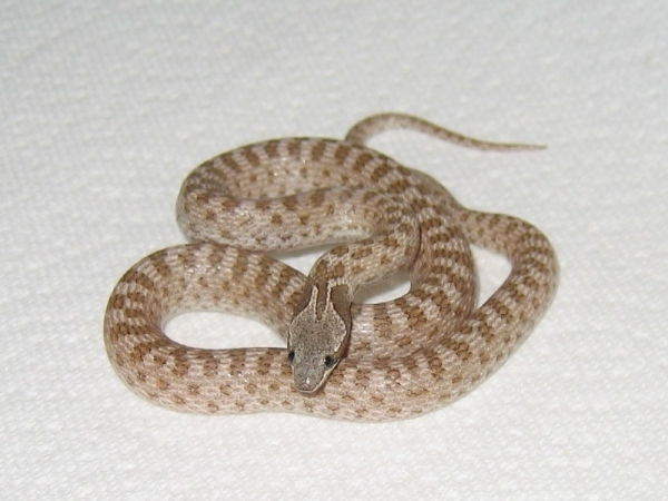 Desert_Night_Snake1
