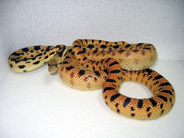 Great_Basin_Gopher_Snake