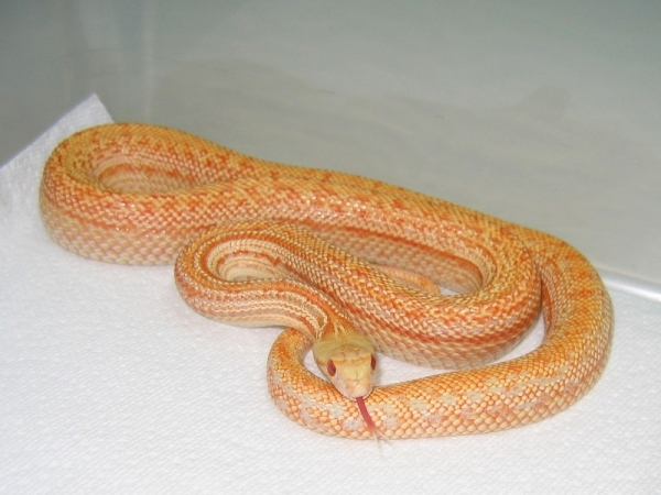 Pacific_Gopher_Snake_-_albino_striped_variation