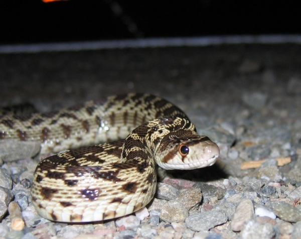 Pacific_Gopher_snake