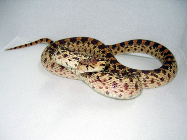 Pacific_Gophersnake