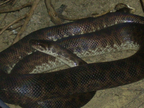 Spotted_Python_Antaresia_Maculosa_