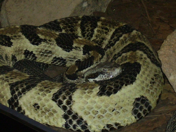 Timber_Rattlesnake_Crotalus_Horridus_