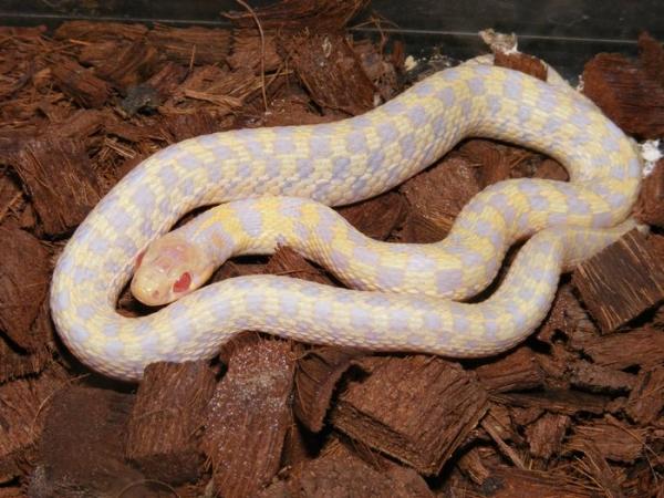 albino_checker_garter_male