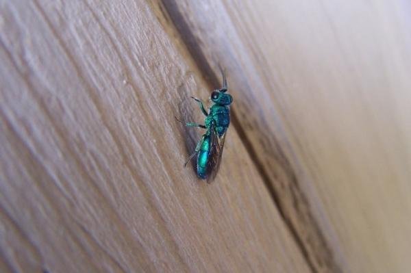 cuckoo_wasp