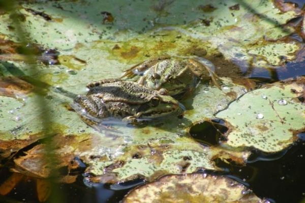 pondfrog