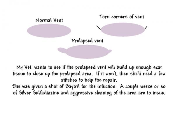 prolapsed_vent
