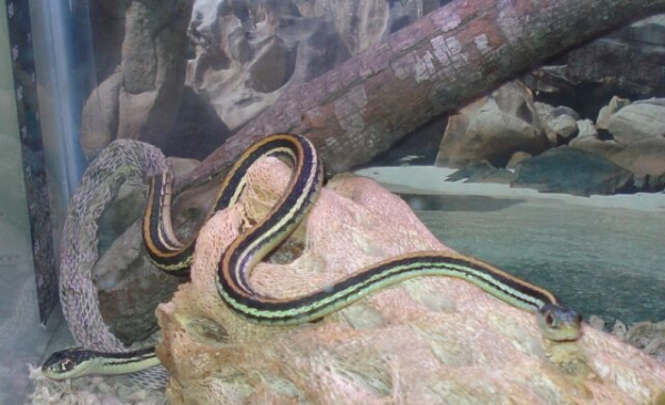 rescue_ribbon_snakes_in_new_tank_resize