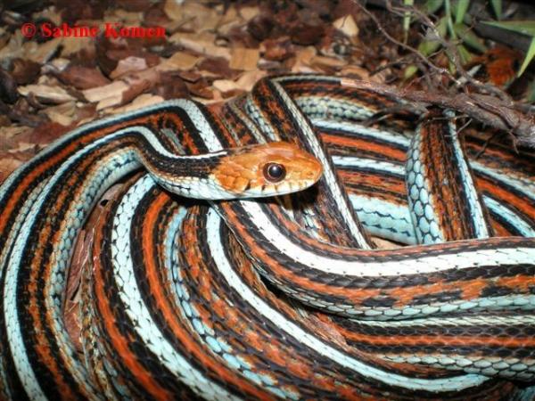 T.sirtalis tetrataenia