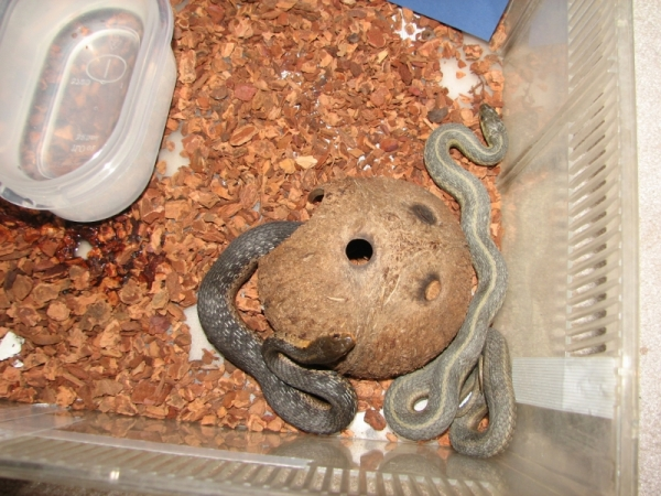 Sooty and a second WC snake