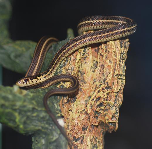 garter_snake_plains